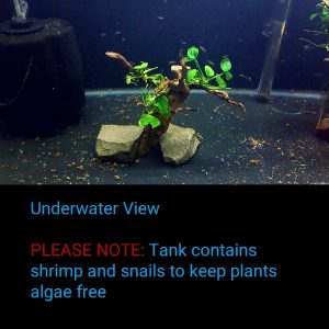 Anubias on Spiderwood | SA004
