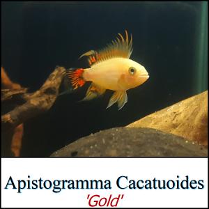 Apistogramma Cacatuoides 'Gold'