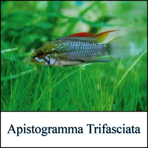 Apistogramma Trifasciata