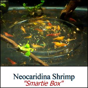 Species_NeocaridinaSmarties