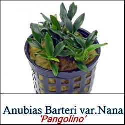 Anubias Barteri var.Nana 'Pangolino'
