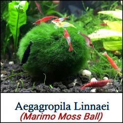 Aegagropila Linnaei (Marimo Moss Ball)
