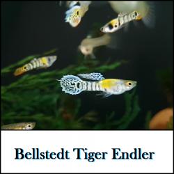 Bellstedt Endler