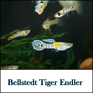 Bellstedt Tiger Endler