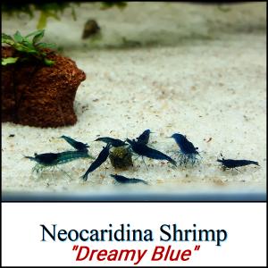 Species_NeocaridinaDreamBlue